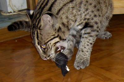 Un gato pescador como mascota casera